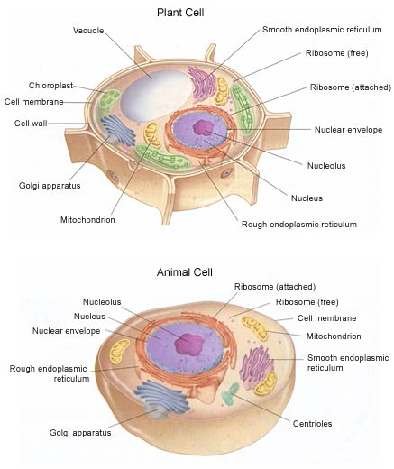 Cell Structure And Function Part 2 Flashcards By Proprofs Cell